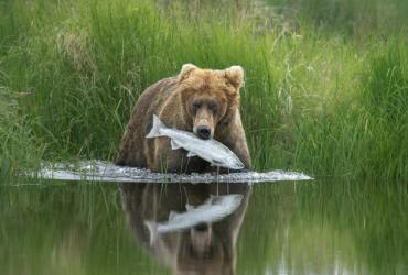 Bear on edge of grass and lake catches a fish in its mouth
